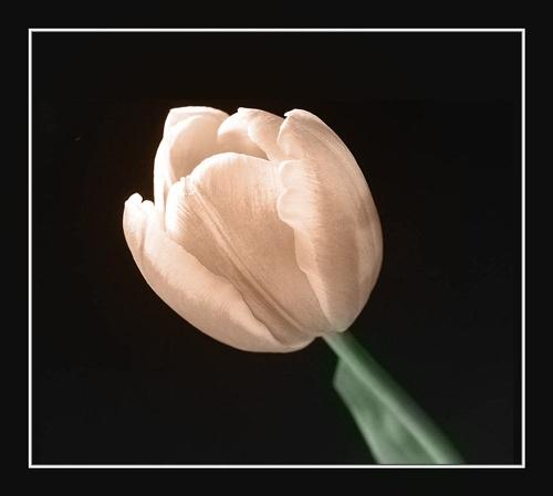 B&W tulip by janehewitt