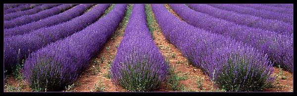 Hidcote Lavender by Hoffy
