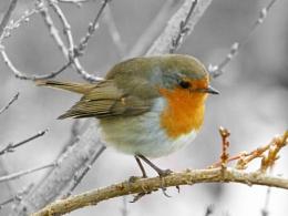 same robin