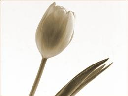 toned tulip
