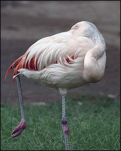 Flamingo by gipperdog