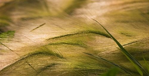 Prairie Grass by psiman