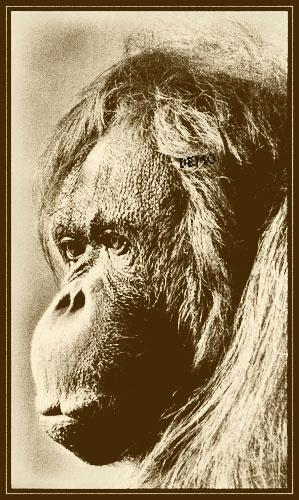 Orangutan\'s Profile by EricaC