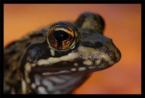 Frog by sferguk