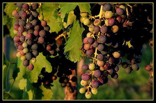 Vineyard by pea