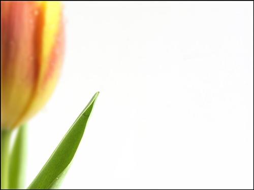 Tulip by janehewitt