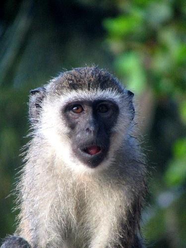 Monkey by Marlin_owner