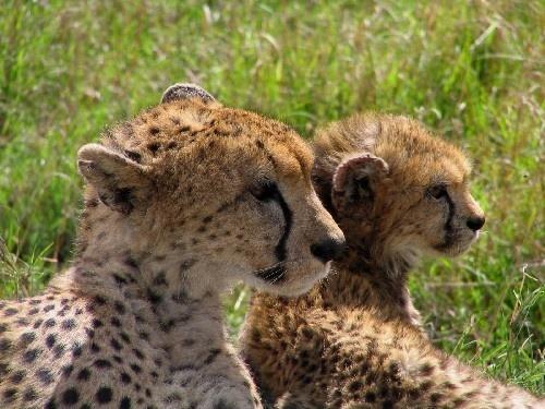 Cheetah&Cub by Marlin_owner