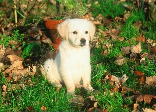 My Retriever as a puppy by obmitty