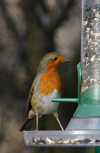 Robin by dannyg