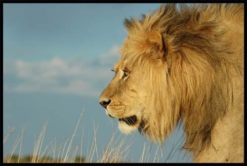 Kalahari Lion by sferguk
