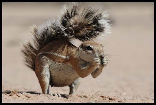 Ground Squirrel by sferguk