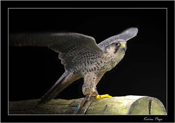 Bird of Prey by pagey