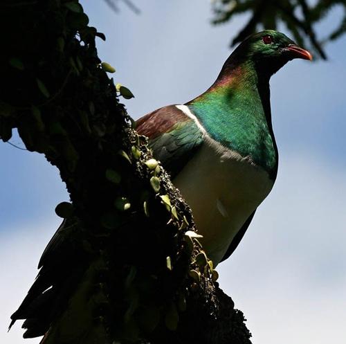 New Zealand Pigeon by mazer