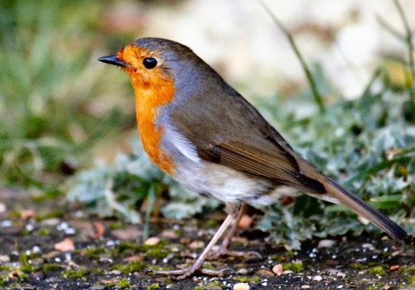 Robin profile by StevenPrice