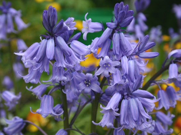Bluebells by lloydy