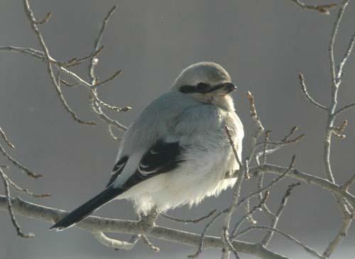 Northern Shrike by Danno