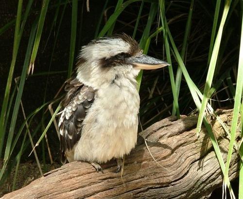 Kookaburra by Courierfan