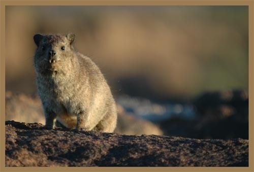 Rock Hyrax (Dassie) by sferguk