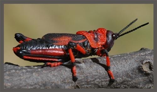 Locust by sferguk