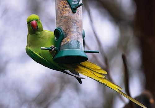 Hyde park parrot by ventmonkey