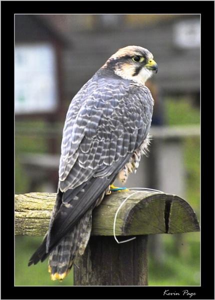 Bird of Prey II by pagey
