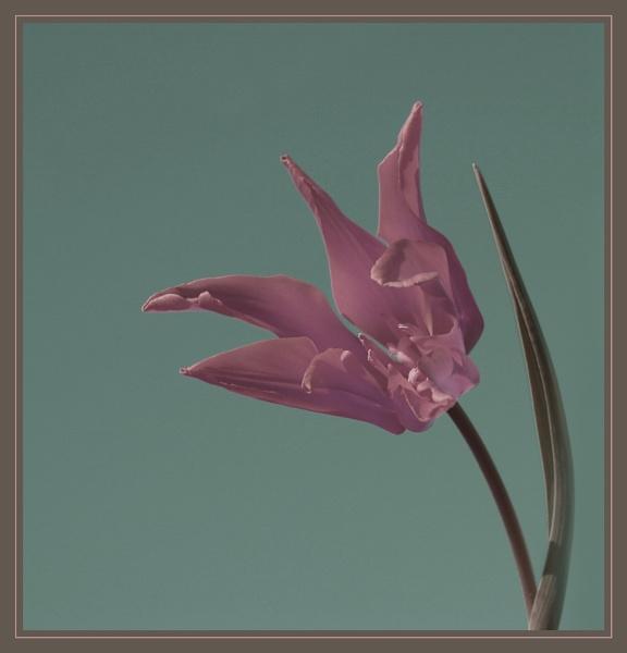 Tulip Tones by conrad