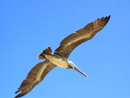 pelican by joseluis