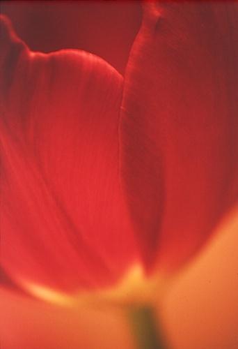 Red Tulip by kevan
