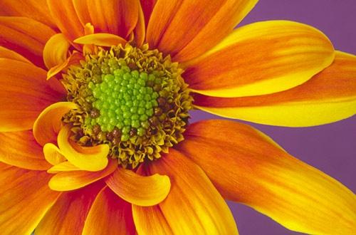 chrysanthemum by Isabelle