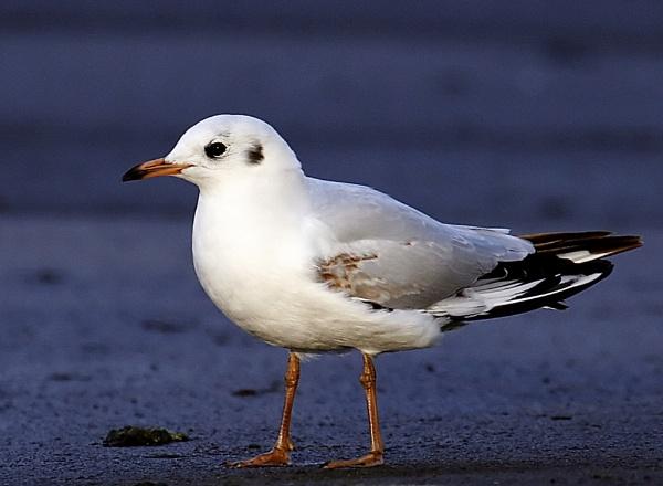 gull by StevenPrice
