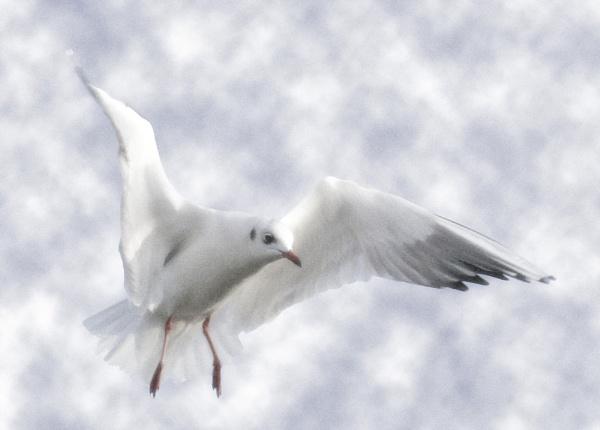 Heavenly Gull by StevenPrice