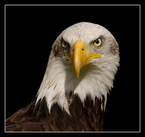 Bald Eagle by chrissycj