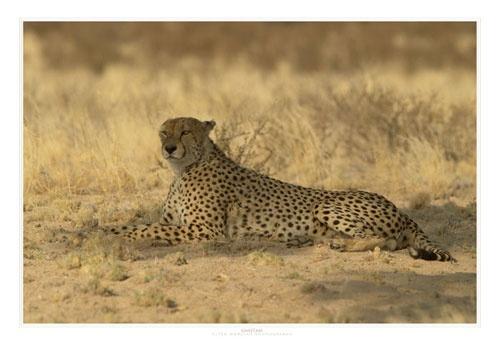Resting Cheetah by EOSPETE
