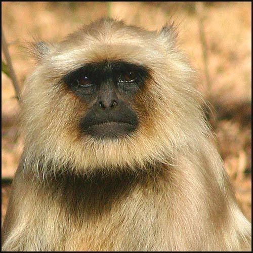 Black-faced Monkey by michellec