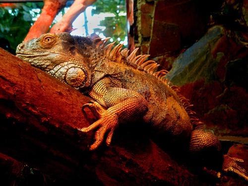 Sleepy Lizard by Weasellady