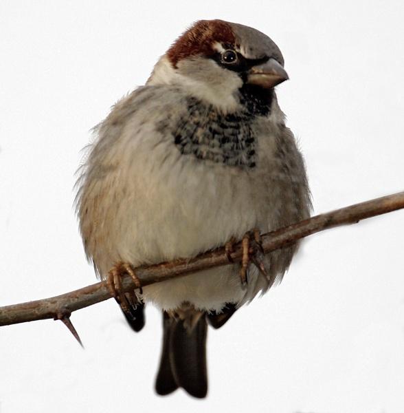 sparrow by StevenPrice