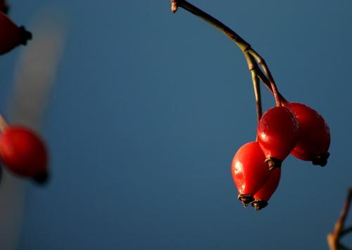 Wild Berries by NickCoker