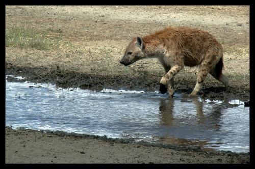 Hyena by AntonR