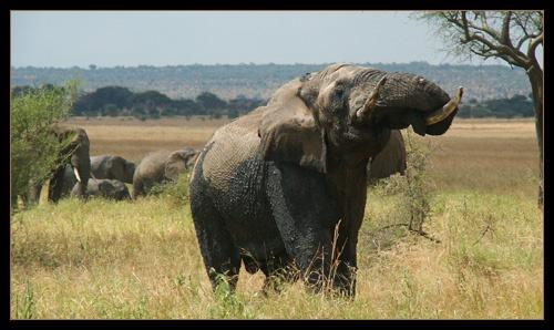 Bull Elephant by AntonR