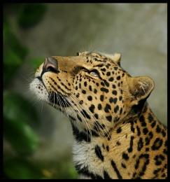 African_Leopard