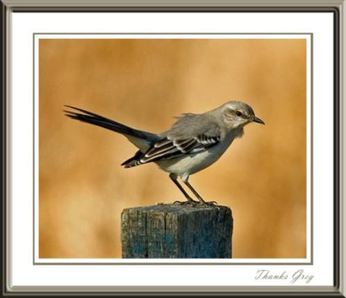 Northern Mockingbird II by glazzaro