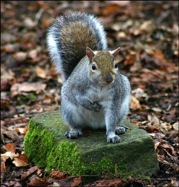 squirrel by christabella