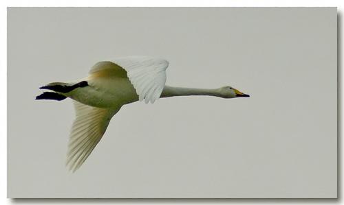 Swan in flight by demetrio