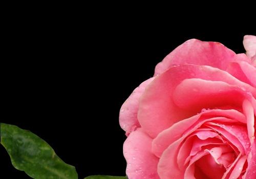 English Rose by choosethefinetime