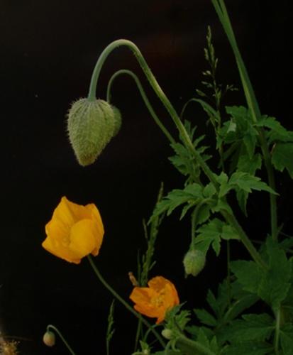 Poppies by netti spaghetti