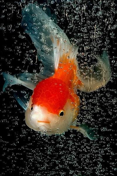 Goldfish by suleesia
