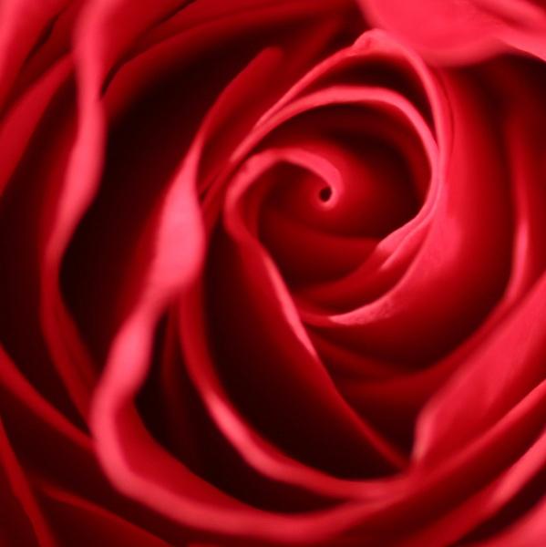 Rose by kidda