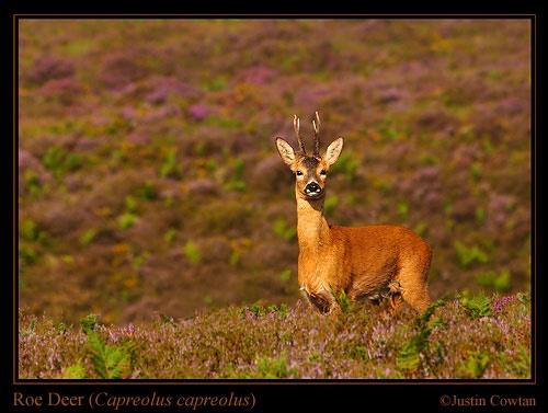 Roe Deer Buck amongst heather. by justin c