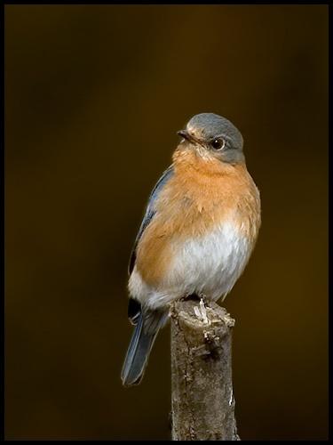 Eastern Bluebird (Female) by glazzaro
